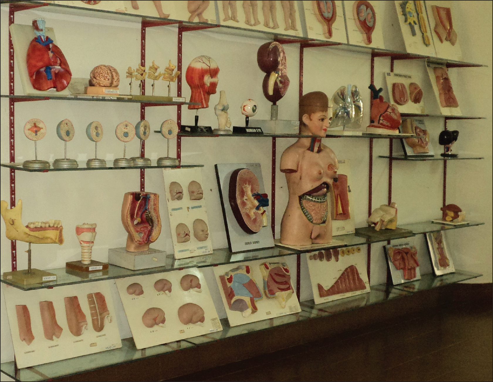 Figure 3: A section with models of various body parts. Courtesy Yenepoya Medical College Anatomy Museum, Mangalore