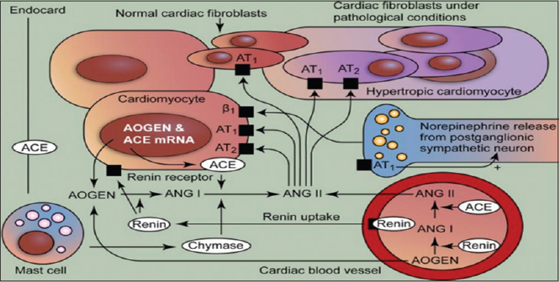Figure 3: Angiotensin II induced cardiac fibrosis and hypertrophy under pathological conditions. Angiotensin II acts on cell-specific receptors on cardiomyocytes and fibroblasts. Mast cell production of human heart chymase may present an alternative pathway